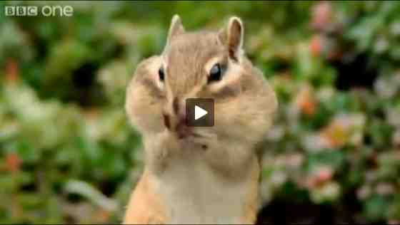 "Chipmunk from ""Hilarious British Animal Voiceovers""/BBC One, wimp.com, youtube.com"