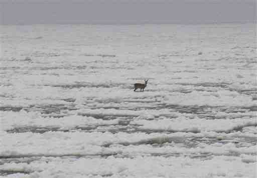 Roe deer stranded on ice floe, Baltic Sea, Jan 4, 2011/Pawel Smaruj, AP, npr.org