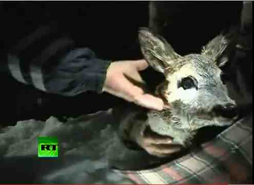 Polish firefighters hold deer rescued from ice floe, Baltic Sea, Jan 4, 2011/Russia Today, youtube.com