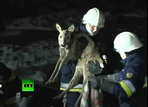 Polish firefighters rescue deer from ice floe, Baltic Sea, Jan 4, 2011/Russia Today, youtube.com