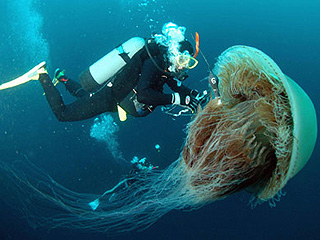 Diver attaches a sensor to Nomura's jellyfish, Sea of Japan, undated/AFP, FOXNews, Nov 2, 09