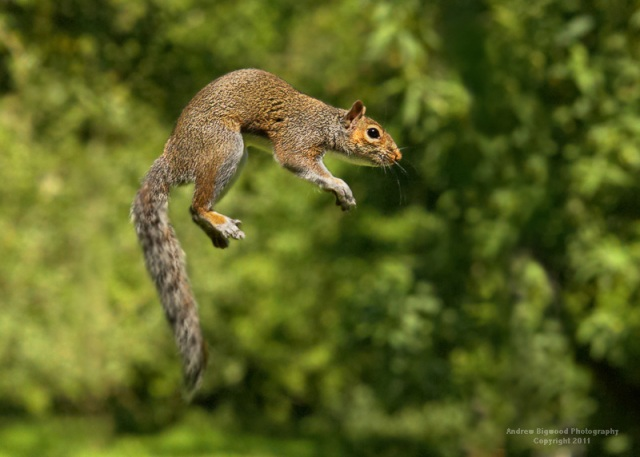 Jumping Grey Squirrel
