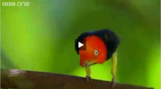 "Red-capped Manakin from ""Hilarious British Animal Voiceovers""/BBC One, wimp.com, youtube.com"