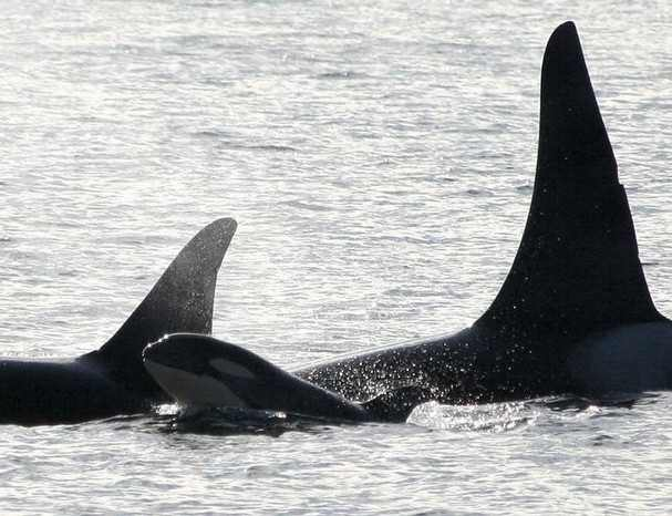Baby orca with mom (left) and male relative, off Port Townsend, WA, Oct 10, 09/Jami Nagel, Island Adventures, KitSap Sun