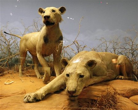 Man-eating lionesses of Tsavo, Field Museum of Natural History, Chicago, Nov 2, 09/Charles Rex Arbogast, AP, Physorg.com
