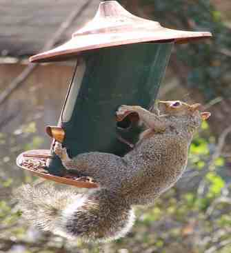Squirrel balances on bird feeder