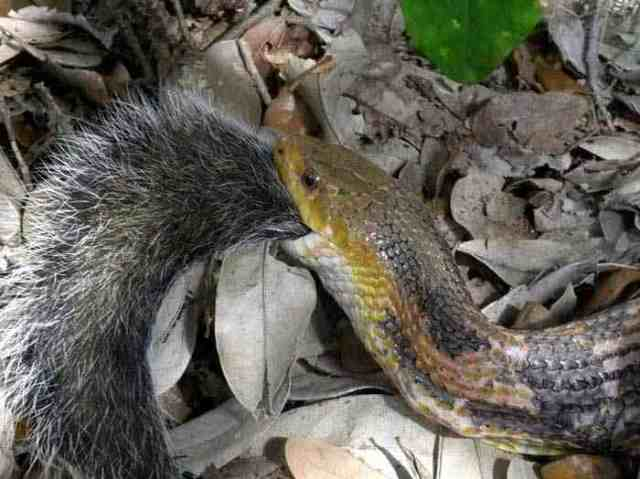 Snake swallows a squirrel