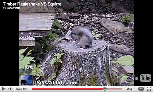 Squirrel escapes rattlesnake strike