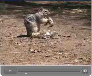 Squirrel chewing on molted rattlesnake skin