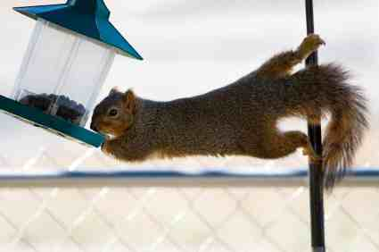 Squirrel stretching sideways to reach bird feeder