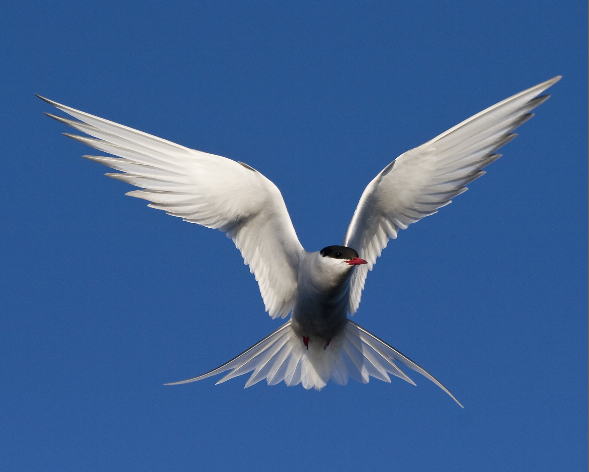 Arctic Tern/Carsten Egevang, Birds of the Sun: A Photographic Tribute to a Bird on the Wing