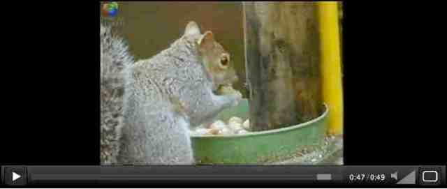 Squirrel eats nuts after finishingobstacle course