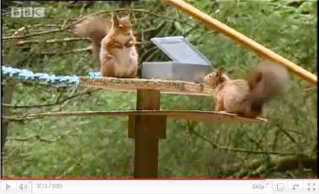 Red squirrel rivals confront each other
