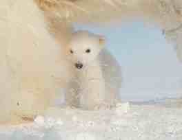 "Polar bear cub with mom, image from ""Polar Bear: Spy On The Ice""/John Downer Productions, jdp.co.uk"