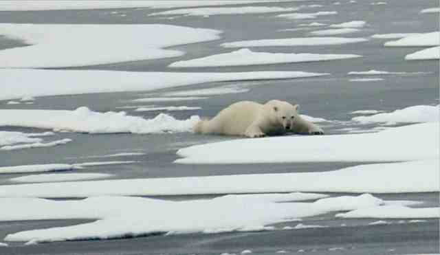 Polar bear slides on thin Arctic ice, Aug 21 09/Patrick Kelley, U.S. Coast Guard, USGS, usgs.gov