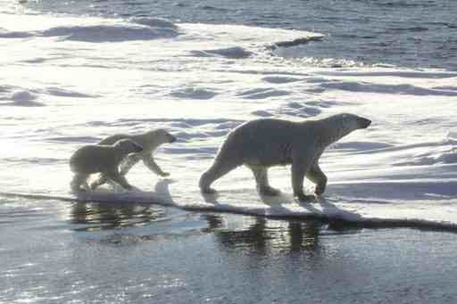 Mother polar bear and two cubs, place & date unknown/bbc.co.uk