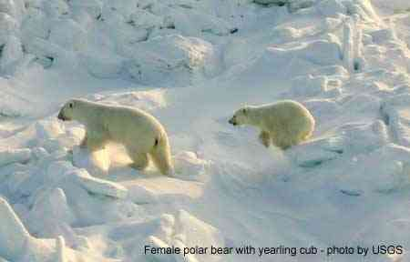 Female polar bear with yearling cub, place & date unknown/Alaska Science Center, USGS, Alaska.usgs.gov