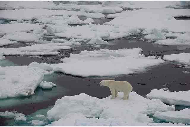 Polar Bear on unsolid ice, Fram Strait, Sept 19 2008/fruchtzwerg's world, Arctic and Antarctic Adventures, flickr.com