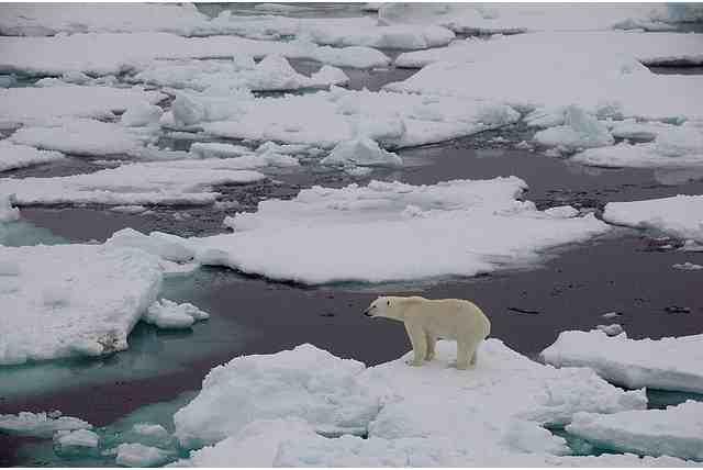 Polar Bear on unsolid ice, Fram Strait, Sept 19 2008/fruchtzwerg's world, Arctic and Antarctic Adventures, flickr.com