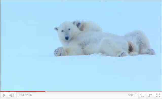 """Female polar bear tries to attract a male's interest, image from """"Polar Bear: Spy on the Ice""""/BBC One, youtube.com"""