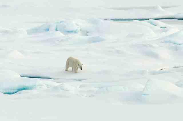 Polar bear walks on Arctic sea ice, Aug 21 09/Patrick Kelley, U.S. Coast Guard, USGS, usgs.gov