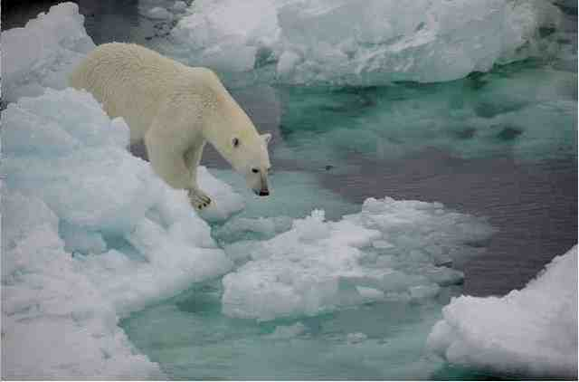 Polar bear examines ice, Fram Strait, Oct 22 08/fruchtzwerg's world, Arctic and Antarctic Adventures, flickr.com