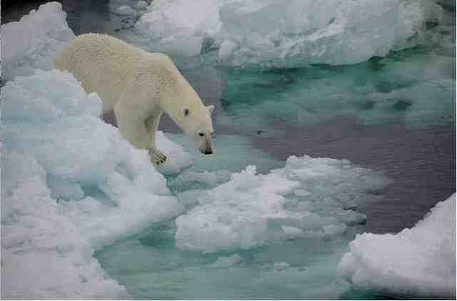 Polar bear examines ice, Fram Strait, Oct 22 08/fruchtzwerg's world, Arctic and Antarctic Adventures, flickr.com