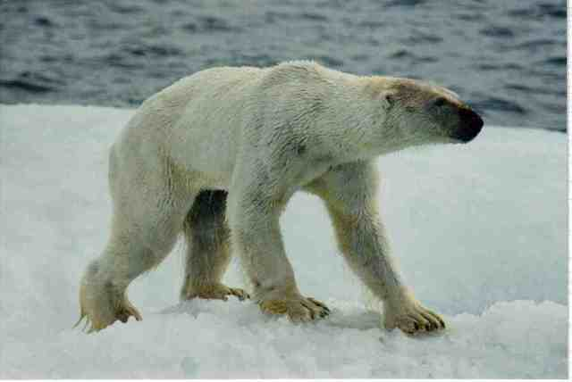 Underweight polar bear, wet from swimming, on ice floe off Alaskan coastline, undated/Kieran Mulvaney, Discovery News, news.discovery.com