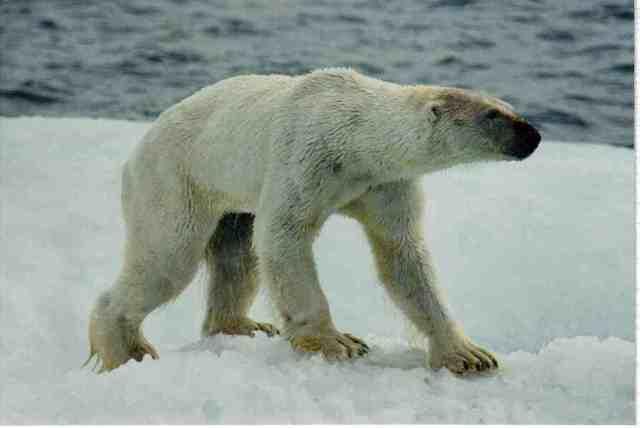 Underweight polar bear, wet from swimming, on ice floe off Alaskan coastline, undated/Kieran Mulvaney, Discovery News, news.discovery.com