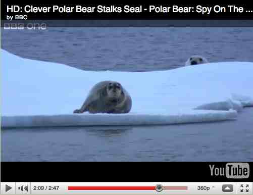 "Polar bear stages sneak attack on seal, image from ""Polar Bear: Spy on the Ice""/BBC One, youtube.com"