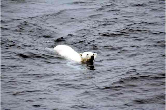 Polar bear swims toward a ship in the Arctic, undated/Mila Zinkova, en.wikipedia.org
