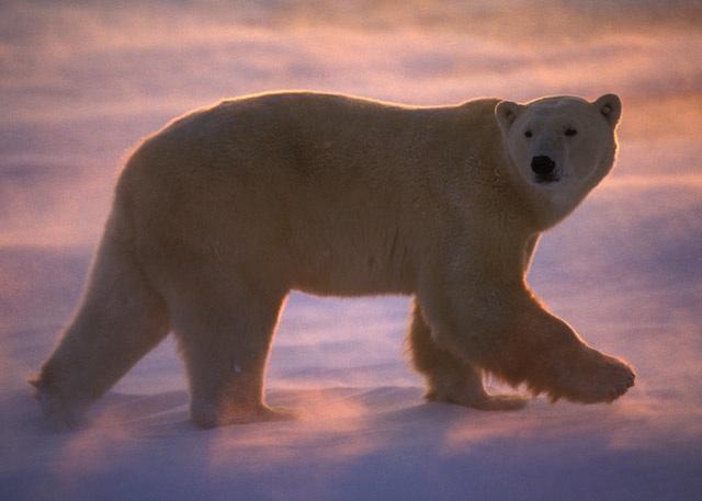 Polar bear walks in blowing snow at sunset, Canada, undated/© Thomas D. Mangelsen, mangelsenstock.com