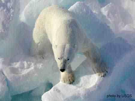 Polar bear, place & date unknown/USGS, Alaska.usgs.gov