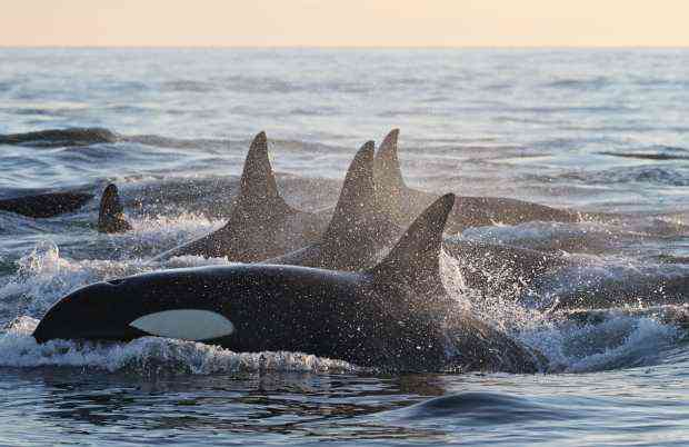 Offshore killer whales, British Columbia, undated/Brian Gisborne, The Vancouver Sun, vancouversun.com