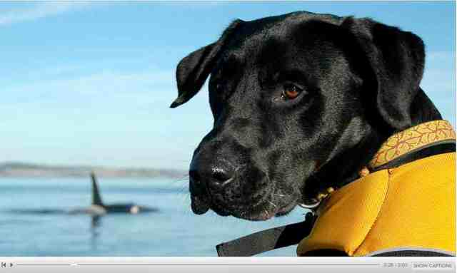 "Tucker & killer whale, image from audio slideshow ""The Dog and the Whale""/Kelley Balcomb-Bartok, BBC, bbc.co.uk"