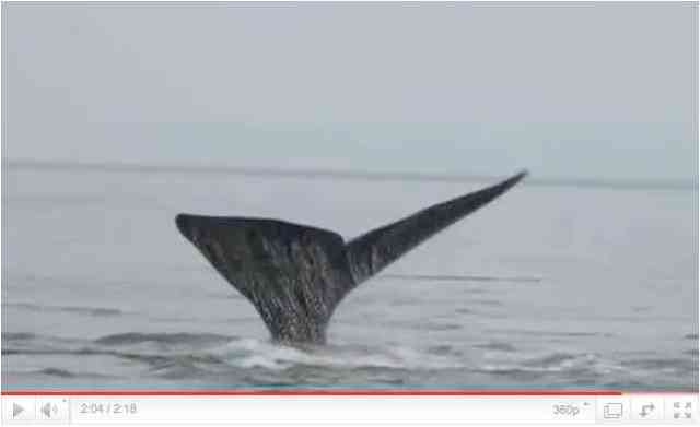 "Unidentified whale dives in New York Harbor area, undated, image from ""Whales in the NY Harbor,"" footage by Cornell Lab of Ornithology/youtube.com"