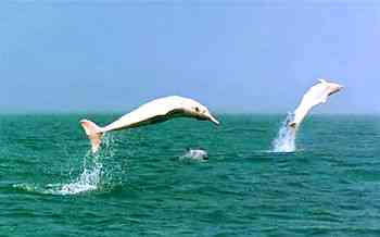 Chinese white dolphins, location & date unknown/What's On Xiamen,whatsonxiamen.com