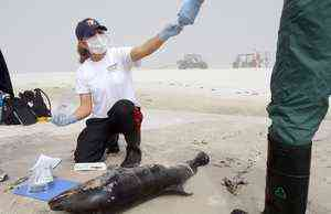 Jamie Klaus of Institute for Marine Mammal Studies, collects samples from dead dolphin, Horn Island, MS, undated/Amanda McCoy, Sun Herald, sunherald.com