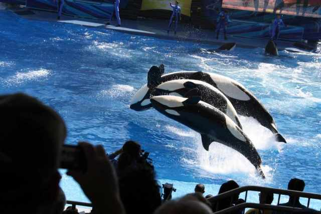 "Three orcas do a back flip during premiere of ""One Ocean,"" SeaWorld Orlando, April 22 2011/Orlando United, orlandounited.com"