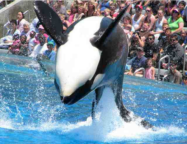 Unidentified orca performs as Shamu, SeaWorld San Diego, June 5 2008/Christopher Allison Photography, flickr.com