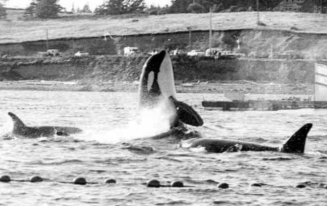 Pacific Northwest captures, Southern Resident Community, 1962-1973/Stefan Jacobs, Center for Whale Research, orcahome.de