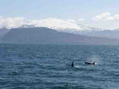 Wild orcas off Iceland, undated/HomeAway, holiday-rentals.co.uk