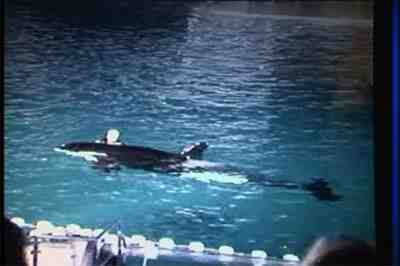 Kasatka drags Ken Peters through water by his foot, SeaWorld San Diego, Nov 29, 2006/AP photo from video, Stephanie Emory, news.uk.msn.com