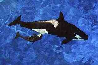 Katina and her newborn, SeaWorld Orlando, Oct 9 2010 / Chris Gotshall for SeaWorld Orlando, zooborns.com