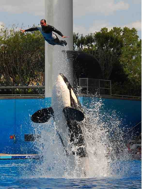 Katina launches unidentified trainer in high dive, SeaWorld Orlando, April 19 2008/orcalover109, outdoors.webshots.com