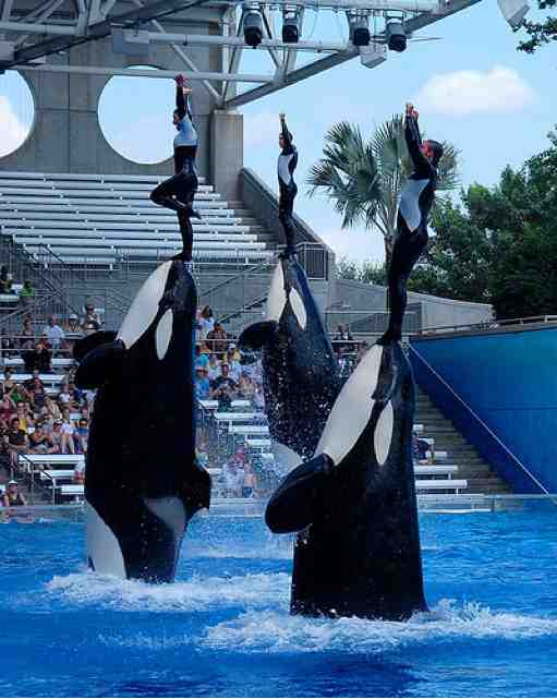 Katina, Takara & Kayla perform with unidentified trainers, SeaWorld Orlando, Nov 4 2009/Orcasw, flickr.com