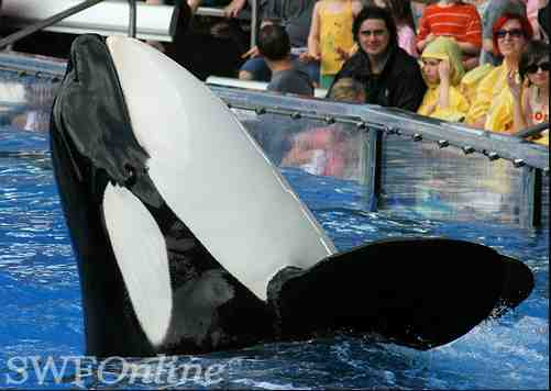 Katina, born in the wild and captured off Iceland in October 1978 at about age two, at SeaWorld Orlando, Dec 24 2009/SWFOnline, Orcasw, flickr.com