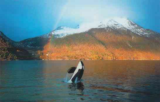 Keiko, Halsa, Norway, Oct 24 2002/Mark Berman, Earth Island Journal, earthisland.org