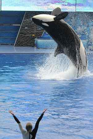 Unidentified killer whale & trainer perform in first show after Tilikum's attack, SeaWorld Orlando, Feb 27 2010/Phelan M. Ebenhack, AP, New York Post, nypost.com