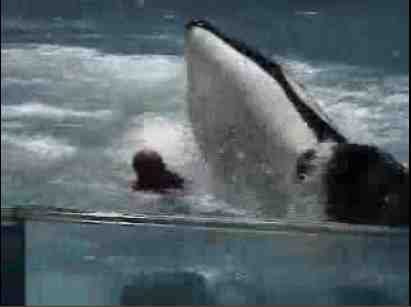 Kyquot (Ky) gets rough with trainer Steve Aibel, SeaWorld San Antonio, July 26 2004/msnbc video, bing.com
